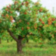 indian summer apple tree