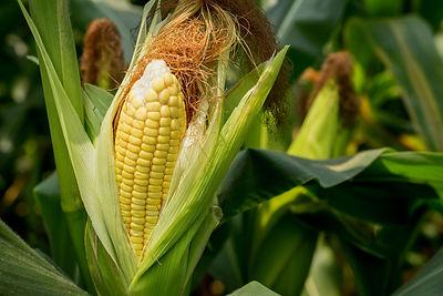 indian summer seasonal foods corn stalks