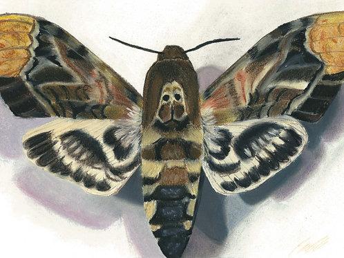 """Death's Head Moth"" art print"
