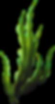 kisspng-seaweed-coral-algae-plants-5acbc