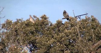 appelants pigeons chasse