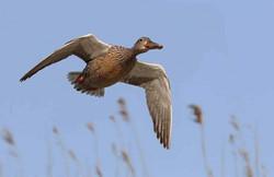 Passée aux canards en Sologne La Briganderie Chasse à la journée de qualité