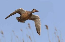 Journée de Chasse aux canards