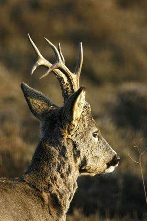 Brocard chasse approche Sologne