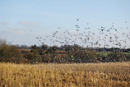 Poste de chasse aux pigeons ramiers centre
