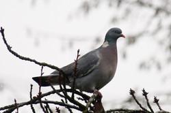 Journée de chasse aux pigeons ramiers ou palombes à la journée