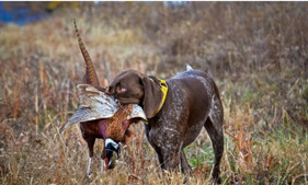 Faisans aux chiens en Sologne Journée de chasse