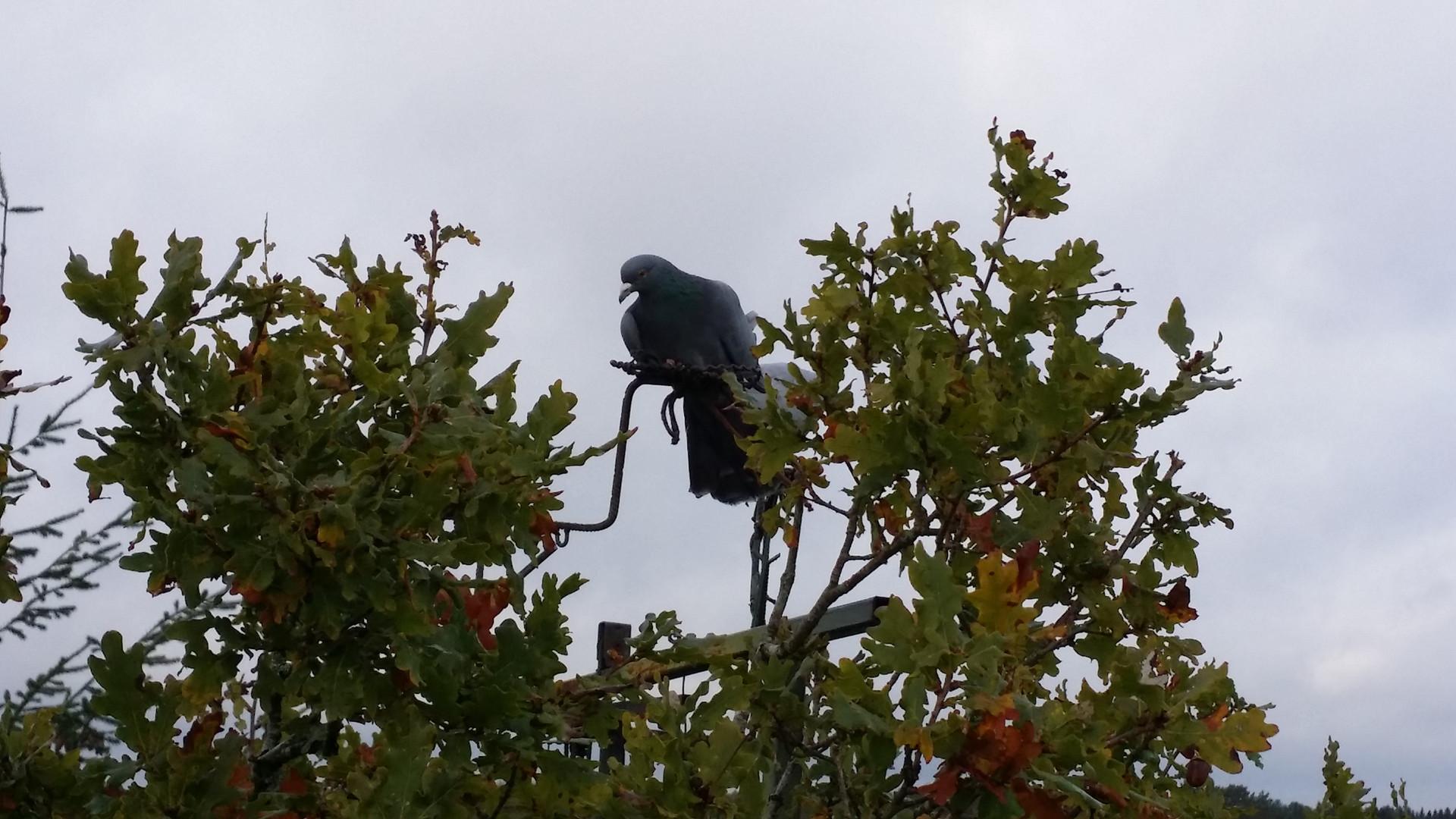 Location Poste Pigeons Ramiers Sologne