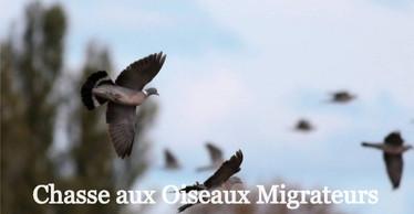 Chasse aux oiseaux migrateurs Sologne Pigeons ramiers Palombes à la journée La Briganderie