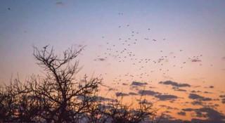 Séjour de chasse pigeon ramier