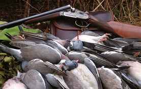 Pigeons ramiers journée de chasse en France