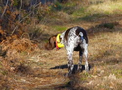 Chasse à la journée aux chiens d'arrêts en Sologne