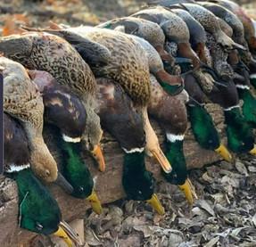 Chasse à la journée aux canards région Centre