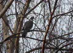 Chasse journée pigeons ramiers