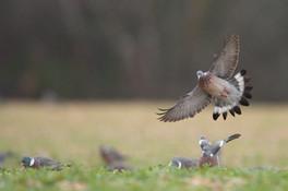 Chasse journée pigeons ramiers centre france