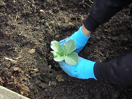 child planting broad beans