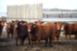 March calving Cows - DSC_5668.jpg