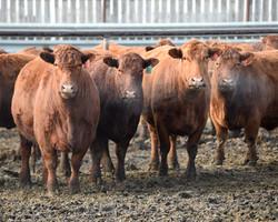March calving Cows - DSC_5646