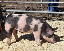 PIG SALE 2020 1.jpg