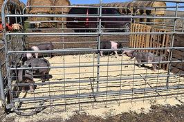 PIG SALE 2020.jpg