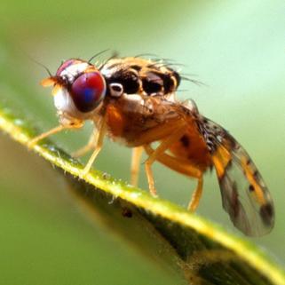 Acciones sanitarias de erradicación de la mosca del Mediterráneo protegen 1.9 millones de hectáreas