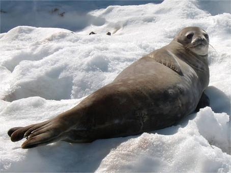 Con focas en los mares antárticos evaluarán efectos del cambio climático
