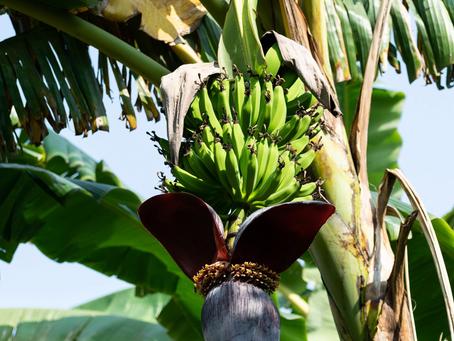 Aumentó 2.9 por ciento producción de plátano mexicano en 2020