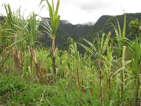 Participa Colpos en proyecto internacional para aumentar la rentabilidad de los productores de caña