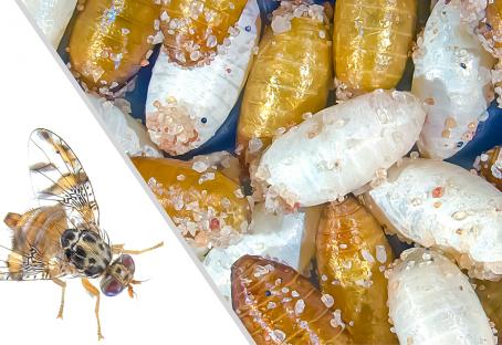 Aislamiento de genes marcadores mejora controles de plagas de insectos