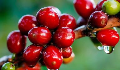 Desarrolla gobierno federal acciones fitosanitarias en 11 estados productores de café