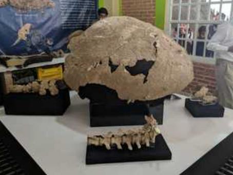 Regresan elementos fósiles de un gliptodonte a la comunidad poblana de Santiago Tenango