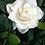 Thumbnail: Flower of the East