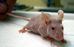 Nude mouse