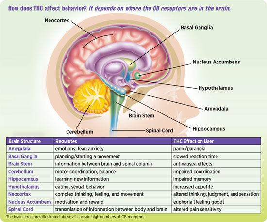 NIDA10-INS2_THC-Brain-v1 (1).jpg