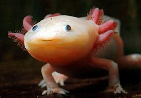 axolotl_wired.jpg