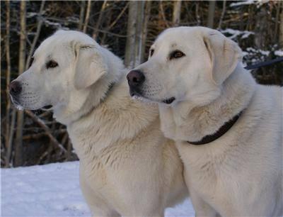 Akbash Dogs