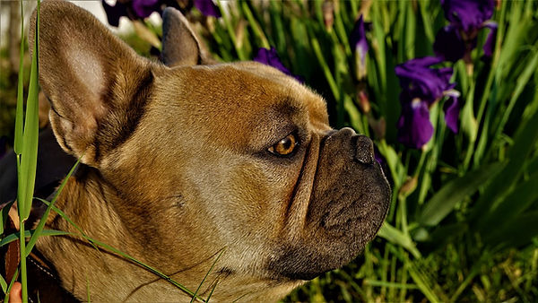 french-bulldog-5085556_960_720.jpg