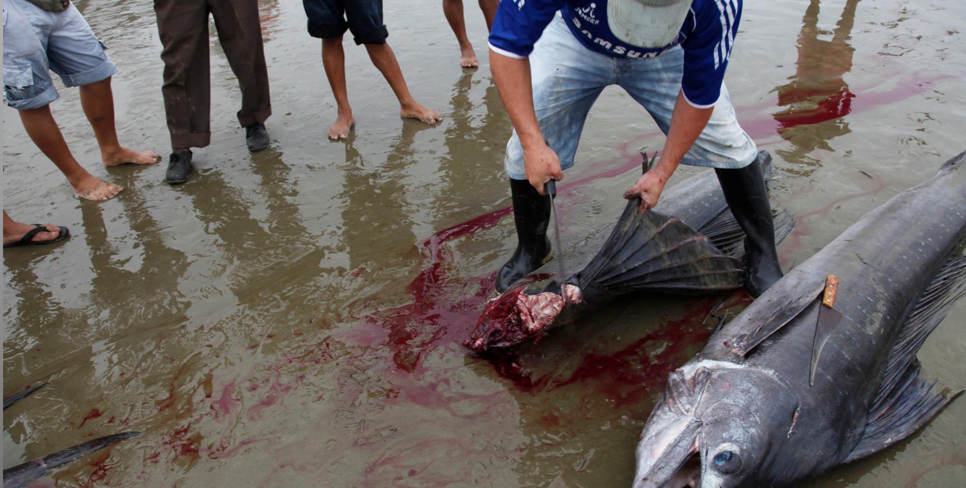 Hacking a protected swordfish in Ecuador