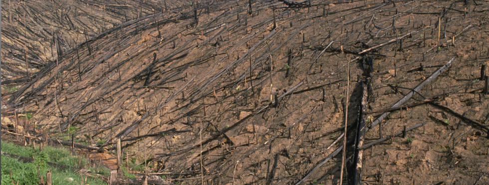 Burnt rainforest to give way to cattle ranch in the Amazon, Brazil