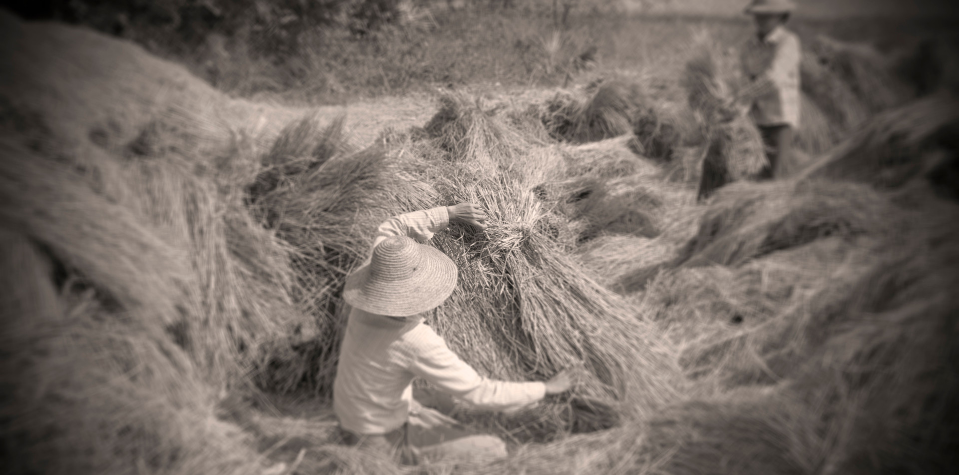 Farmers harvesting wheat near Katha, where George Orwell's 'Burmese Days' was set