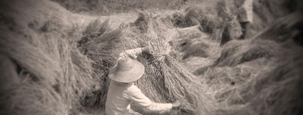 Farmers harvesting wheat near Katha, where George Orwell's 'Burmese Days' was set
