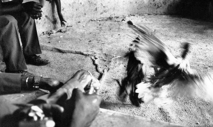 Cock fighting in Port au Prince, Haiti