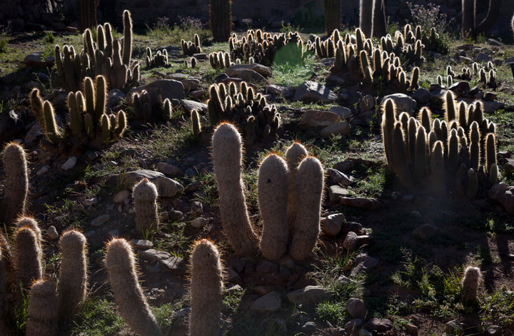 Cactus in southern Bolivia