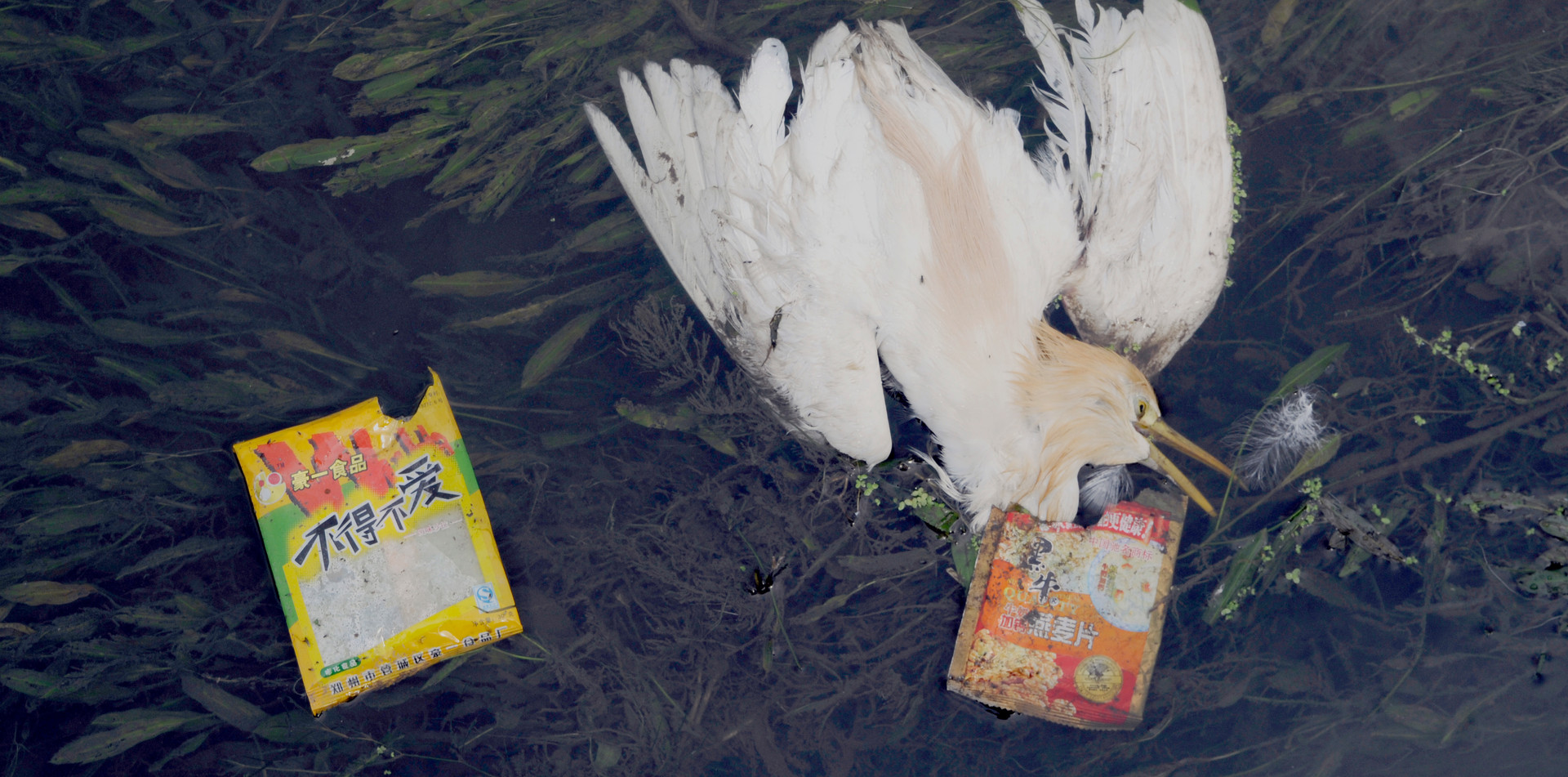 Dead bird in polluted river in China