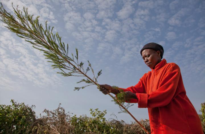 Farmer harvesting organic tea tree, shot for campaign for the Body Shop Fairtrade Foundation
