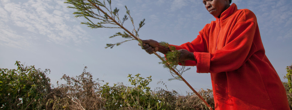 Farmer harvesting organic tea tree, shot for campaign for the Body Shop Fairtrade Foundation