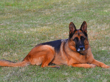WHAT MAKES A GERMAN SHEPHERD TICK
