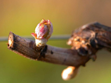 French vineyards begin 2020 growing season in lockdown