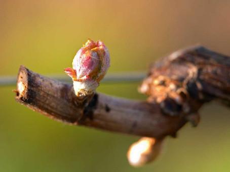 French vineyards begin 2020 growing season in lockdown