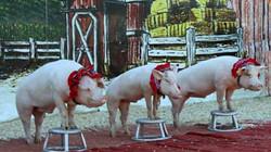 Three Little Piggies all in a row.jpg